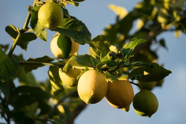 美肌効果のあるフルーツ レモン